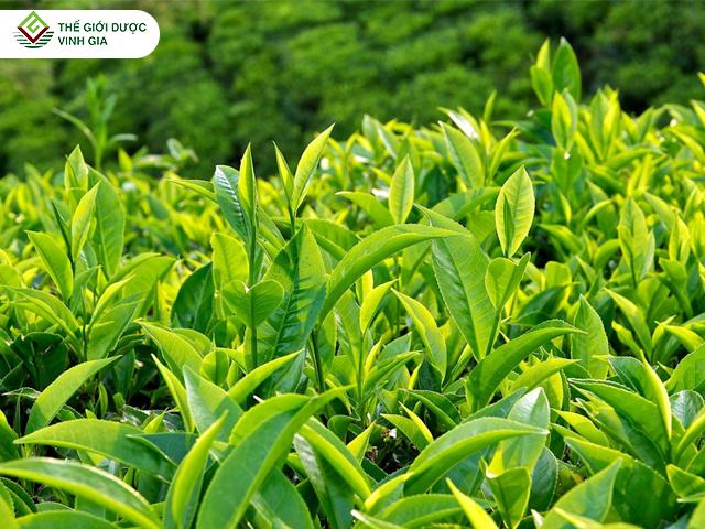 chiết xuất từ 88% lá trà xanh nguyên chất được chọn lọc kĩ lưỡng
