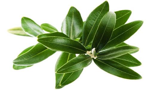Lá Oliu cũng là một trong những thành phần của sản phẩm